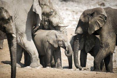 Plakát Slon v národním parku Etosha.