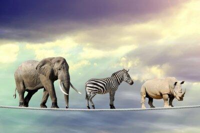 Plakát Slon, zebra, nosorožec chůzi na laně