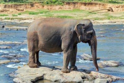 Plakát Sloní koupel v řece Srí Lance