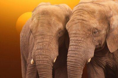Plakát Sloni Sunrise. Pár slonů se společně za úsvitu.