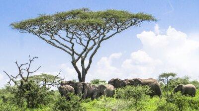 Plakát slůně dohání je to stádo slonů stojící pod akátu na Serengeti Savannah krajiny