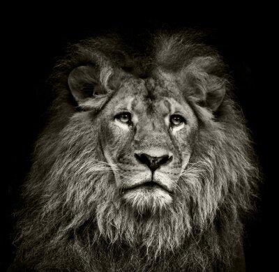 Plakát smutný lev