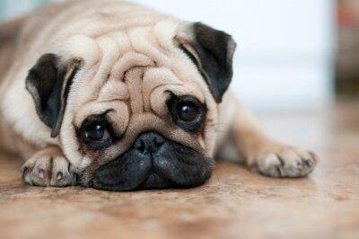 138da7ef030 Smutný pes mops ležící patro plakáty na zeď • plakáty fotogenický ...