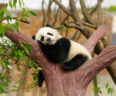 Plakát Spící obří panda dítě