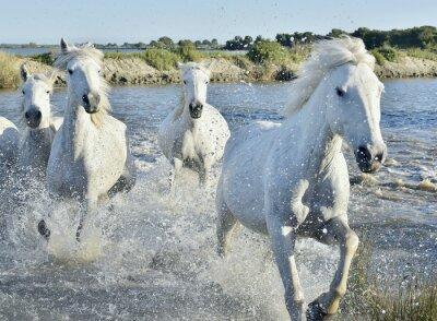Plakát Stádo bílých koní Běh a stříkající přes vodu
