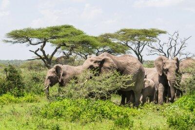 Plakát stádo slonů stojící mezi Rwandě na Serengeti Savannah krajiny