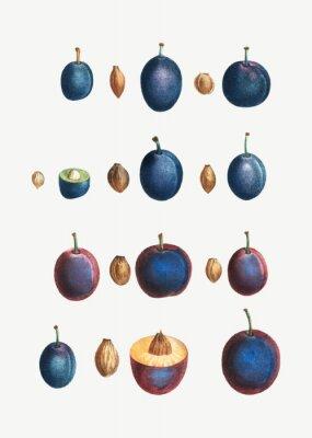 Plakát Stages of a plum