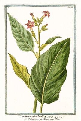Plakát Staré botanické ilustrace Nicotiana major (Nicotiana tabacum). G. Bonelli o Hortuse Romanus, publ. N. Martelli, Řím, 1772 - 93