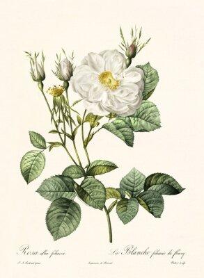 Plakát Staré ilustrace Rosa alba foliacea. Vytvořeno společností PR Redoute, publikované v Les Roses, Imp. Firmin Didot, Paříž, 1817-24