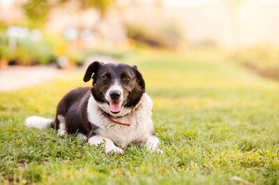 Plakát Šťastný pes leží v zelené trávě s probíhajícími tlapkami