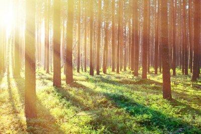 Plakát Sunrise v borovicovém lese