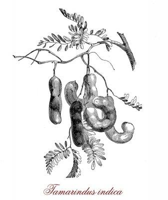 Plakát Tamarindus indica