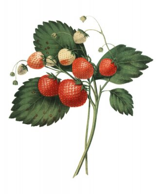 Plakát The Boston Pine Strawberry (1852) by Charles Hovey, a vintage illustration of fresh strawberries. Digitally enhancedby rawpixel.