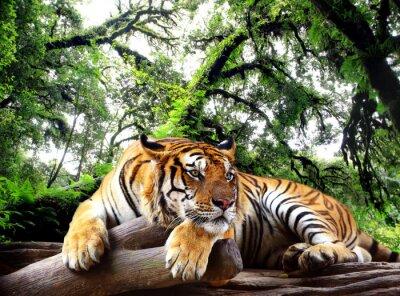 Plakát Tiger hledá něco na skále v tropických stálezelených lesů