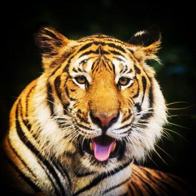 Plakát Tiger portrét bengálského tygra.