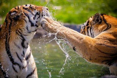 Plakát Tigers
