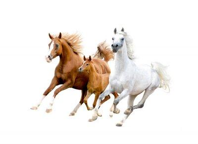 Plakát Tři arabští koně na bílém
