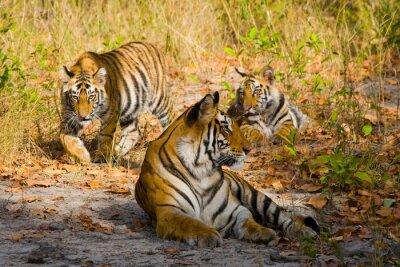 Plakát Tři divoký tygr v džungli. Indie. Národní park Bandhavgarh. Madhya Pradesh. Vynikající ukázkou.