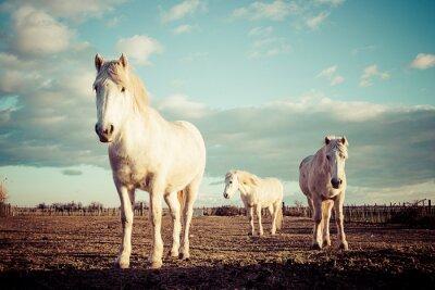 Plakát trois chevaux Blancs camarguais vinobraní