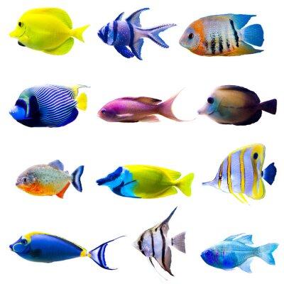 Plakát Tropical fish collection