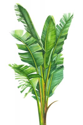 Plakát tropical plants, banana palm on an isolated white background, watercolor illustration, hand drawing, botanical painting