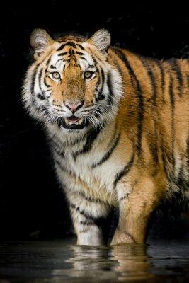 Plakát Tygr
