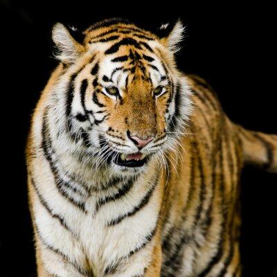 Plakát Tygr bengálský