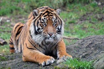 Plakát Tygr sumaterský