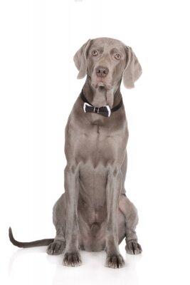 Plakát vážný weimaraner dog portrét v motýlkem