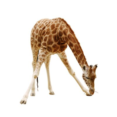 Plakát velká žirafa izolovaných na bílém pozadí