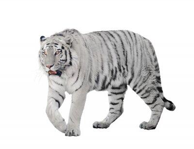 Plakát velký albín tygr izolovaných na bílém