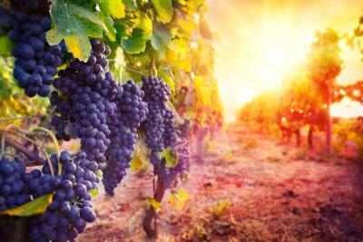 Plakát Vinice s zralých hroznů v přírodě při západu slunce