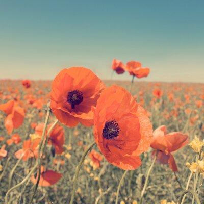 Plakát Vintage fotografie letní krajina s divokými květy máku.