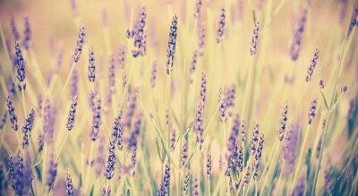 Plakát Vintage tónovaný levandule květ, malou hloubkou ostrosti.