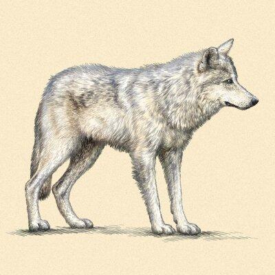 Plakát vyrýt vlk ilustrační