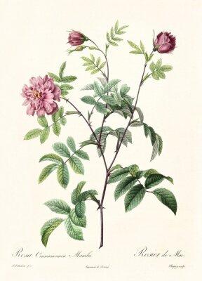 Plakát Vytvořeno společností PR Redoute, publikované v Les Roses, Imp. Firmin Didot, Paříž, 1817-24