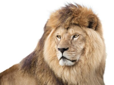Plakát Watchful mighty lion