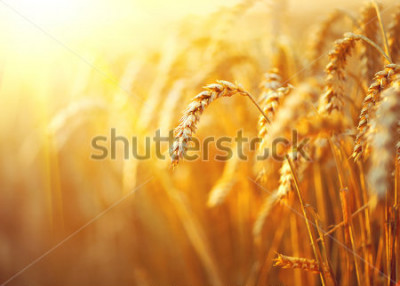 Plakát Wheat field. Ears of golden wheat close up. Beautiful Nature Sunset Landscape. Rural Scenery under Shining Sunlight. Background of ripening ears of meadow wheat field. Rich harvest Concept