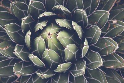 Plakát Zblízka agáve sukulentních rostlin, selektivní zaměření, tónování