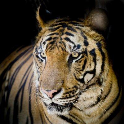 Plakát Zblízka tygr