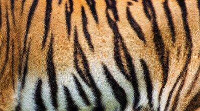 Plakát zblízka tygří kůži texturu