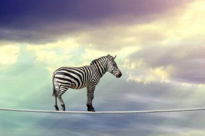 Plakát Zebra chůzi na laně