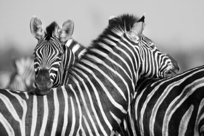 Plakát Zebra herd in black and white photo with heads together