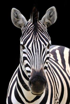 Plakát Zebra izolované na černém
