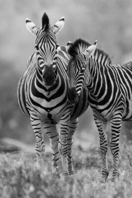 Plakát Zebra klisna a hříbě stojící blízko u sebe v křoví za bezpečnost