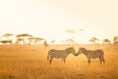 Plakát Zebra Love in Serengeti
