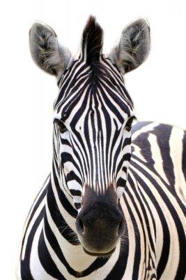 Plakát Zebra na bílém
