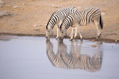 Plakát Zebra pitné vody z díry