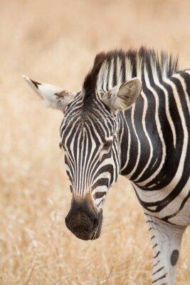 Plakát Zebra portrét, Kruger Park, Jižní Afrika