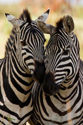 Plakát Zebra přátelé